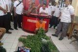 Polisi tahan warga pemilik tanaman ganja di belakang rumahnya