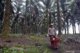Ekspor sawit ke India kembali normal, produksi Kalteng alami penurunan