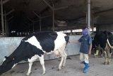Selain produksi buah, GGF produksi susu sapi Australia