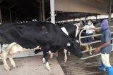 Kaltim datangkan dua ribu sapi Australia jenis 'Brahman Cross'