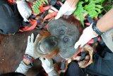 Seekor orang utan ditangkap karena masuk perkebunan warga
