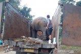 BKSDA kembalikan tiga gajah sumatera yang masuk kebun ke habitatnya
