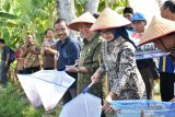 Bupati Bantul panen padi dan ikan sistem minapadi di DEsa Tamanan