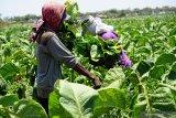 Pengamat: Ada sejumlah risiko yang perlu diwaspadai petani tembakau