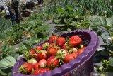 Petani memetik buah strawberry di Sarangan, Magetan, Jawa Timur, Sabtu (5/10/2019). Buah strawberry hasil panen tersebut selanjutnya dijual dengan harga Rp70.000 hingga Rp100.000 per kilogram tergantung ukuran dan kualitas buah. Antara Jatim/Siswowidodo/zk
