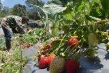 PANEN STRAWBERRY MAGETAN. Petani memetik buah strawberry di Sarangan, Magetan, Jawa Timur, Sabtu (5/10/2019). Buah strawberry hasil panen tersebut selanjutnya dijual dengan harga Rp70.000 hingga Rp100.000 per kilogram tergantung ukuran dan kualitas buah. Antara Jatim/Siswowidodo/zk