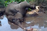 Gajah Sumatera berkaki buntung terkena jerat ditemukan mati di Riau