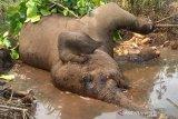Gajah sumatera berkaki buntung mati diduga akibat sakit