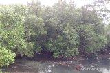 TNI AL tanam 3.000 bibit mangrove di Sangihe