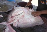 Warga Desa Bunglai OKU  tangkap ikan pari berbobot 200 Kg