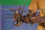 Menteri Edhy : Lumrah kebijakan terkait benih lobster hadapi tantangan