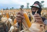 NTB akan membangun pabrik pengolahan jagung skala kecil