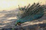 Merak Hijau (pavo muticus) mengembangkan bulu ekornya untuk menarik lawan jenis di Taman Nasional Baluran, Situbondo, Jawa Timur, Rabu (9/10/2019). Saat ini Merak hijau memasuki puncak musim kawin. Antara Jatim/Budi Candra Setya/zk