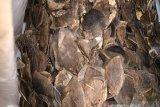 Polisi amankan 12 kilogram sisik trenggiling dari dua pelaku di Banjarmasin