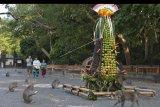 Wisatawan menyaksikan kera memakan buah-buahan dan sayuran yang disusun berbentuk gunungan dalam upacara Tumpek Kandang di obyek wisata Alas Kedaton, Tabanan, Bali, Sabtu (12/10/2019). Upacara yang digelar Umat Hindu setiap enam bulan tersebut sebagai wujud rasa sayang terhadap binatang sekaligus mendoakan agar tetap lestari dan memberi manfaat bagi kehidupan manusia. ANTARA FOTO/Nyoman Hendra Wibowo/nym