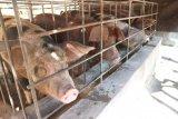 Hadakewa manfaatkan dana desa untuk usaha peternakan babi