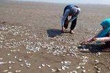 Ribuan ikan mati mendadak di Cilacap jadi viral