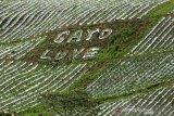 "Petani membuat tulisan Gayo Love di perkebunan strawberry di dataran tinggi Gayo, Desa Kepies, Bener Meriah, Aceh, Minggu (1/9/2019).  KERAWANG KEKAYAAN BUDAYA SUKU GAYO  Kerawang adalah nama sebutan terhadap motif-motif ukir pada suku Gayo Provinsi Aceh yang kini banyak dijumpai pada kain terutama kostum adat. Kerawang berasal dari dua kata yaitu ""iker"" yang berarti dasar buah pikiran, dan ""rawang"" yang berarti ramalan.Jadi Kerawang dapat diartikan ramalan sebuah pikiran pemagar adat.   Penambahan kata Gayo merupakan bentuk identitas dari suku Gayo yang bermukim di dataran tinggi Kabupaten Aceh Tengah, Provinsi Aceh.Seiring perkembangan kehidupan ukiran kerawang gayo telah menjadi salah satu seni ukir yang semakin ramai diminati terutama kain sebagai bahan utama untuk desain pakaian wanita remaja dan dewasa juga kostum laki-laki.   Motif Kerawang Gayo yang khas pada setiap warna dan ukiran memiliki makna dan arti tersendiri. Kerawang gayo memiliki motif beragam diantaranya mata itik, pucuk rebung, sesirung, leladu, mun berangkat, tulen iken, puter tali, bunge kipes, gegaping dan panah.   Kain yang menjadi bahan utama dari  setiap acara adat masyarakat gayo itu umumnya memakai bahan dasar berwarna hitam dan motifnya menggunakan campuran warna merah, putih, hijau serta kuning.    Warna-warni ukiran kerawang gayo  tersebut bagi masyarakat suku gayo memiliki arti tersendiri yakni hitam bermakna merupakan hasil keputusan adat, merah sebagai tanda berani bertindak dalam kebenaran, putih bermakna tanda suci dalam tindakan lahir dan batin, hijau sebagai tanda kejayaan dan kerajinan di dalam kehidupan sehari-hari serta kuning sebagai tanda hati-hati dalam bertindak.  Peningkatan permintaan kain motif kerawang gayo baik untuk pasar lokal, nasional dan mancanegara telah mendorong munculnya pengrajin-pengrajin rumah tangga untuk memproduksi kain warisan nenek moyang suku Gayo itu dengan cara tradisional yang mengandalkan mesin jahit dan benang berkualitas.  Pemerintah Aceh jug"