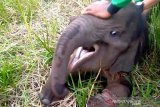Kasihan, seekor anak gajah di Riau terjerat dan terpisah dari rombongannya