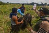 Petugas medis Balai Besar Konservasi Sumber Daya Alam (BBKSDA) Provinsi Riau memberikan cairan infus kepada seekor anak gajah sumatera liar yang terluka saat proses evakuasi di Kecamatan Sungai Mandau, Kabupaten Siak, Riau, Rabu (16/10/2019). Gajah sumatera (Elephas maximus sumatranus) jantan berumur setahun itu terluka di kaki akibat jerat pemburu sehingga tertinggal dari kawanannya, sehingga BBKSDA Riau harus mengevakuasi satwa dilindungi itu ke Pusat Pelatihan Gajah di Minas untuk perawatan selanjutnya. ANTARA FOTO/Nimrod/FBA/wsj.