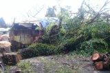 BPBD Agam tumbangkan pohon potensi timpa rumah warga