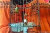 Curi burung jawara kontes kicau, dua pemuda Lingsar ditangkap polisi