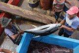 Pekerja membongkar muat ikan tuna sirip kuning kualitas ekspor hasil tangkapan nelayan Pulau Nasi dan Pulau Breuh Aceh Besar di Lampulo, Banda Aceh, Jumat (18/10/2019). Ikan tuna sirip kuning dengan kualitas ekspor yang memiliki berat lebih diatas 20 Kg dijual Rp48.000 per Kg. Antara Aceh/Irwansyah Putra. Antara Aceh/Irwansyah Putra.
