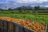 Petani di Sigi keluhkan harga tomat turun jadi Rp2.500/kg