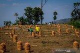 Petani memanen kentang di Kertasari, Kabupaten Bandung, Jawa Barat, Senin (21/10/2019). Direktorat Jenderal Hortikultura Kementerian Pertanian menargetkan swasembada kentang industri akan tercapai pada 2020, saat ini, Indonesia sudah swasembada untuk kentang sayuran, sedangkan untuk kentang industri sebagian besar masih dipenuhi dari impor. ANTARA JABAR/Raisan Al Farisi/agr