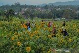 Wisatawan berswafoto di perkebunan bunga matahari Taman Wisata Karang Resik, Kota Tasikmalaya, Jawa Barat, Senin (21/10/2019). Pemilik taman bunga mengaku, taman bunga matahari dengan luas lahan dua hektar untuk bahan baku pupuk organik tersebut banyak dikunjungi wisatawan dari berbagai daerah setelah sempat viral di media sosial, bahkan dalam sehari kunjungan wisatawan untuk swafoto diperkebunan tersebut bisa mencapai 500 pengunjung. ANTARA JABAR/Adeng Bustomi/agr
