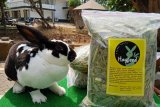 Mahasiswa Polbangtan YoMa produksi dan pasarkan pakan kelinci