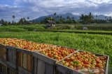 Harga tomat jatuh pada level terendah