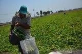 Sodikin (60) memanen buah krai (sejenis timun) di lahan pertanian Desa Jombatan, Kecamatan Kesamben, Kabupaten Jombang, Jawa Timur, Selasa (22/10/2019). Menurut petani setempat, tanaman buah krai bisa dipanen hingga 20 kali, sekali petik mereka bisa memanen 4 kuintal dan selanjutnya dijual ke tengkulak dengan harga Rp1.500 per kilogramnya. Antara Jatim/Syaiful Arif/zk.