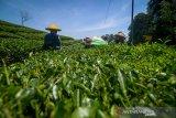 Petani memanen teh di kebun PTPN VIII Ciater, Kabupaten Subang, Jawa Barat, Selasa (22/10/2019). Ketua Umum Dewan Teh Indonesia Suharyo Husen memprediksi realisasi serapan teh dalam negeri pada 2019 meningkat hingga 3 persen dari tahun sebelumnya yang mencapai 70.000 ton teh. ANTARA FOTO/Raisan Al Farisi/agr