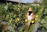 Petani memanen buah melon jenis canary di Dasa Penaguan, Pamekasan, Jawa Timur, Rabu (23/10/2019). Dalam sebulan terakhir harga melon dengan segmen pasar menengah ke atas itu naik dari Rp9.000 menjadi Rp12.500 per kg karena minimnya pasokan. Antara Jatim/Saiful Bahri/zk