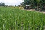 Perbaikan bendungan memicu hektaran sawah Mataram terancam kekeringan