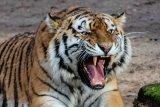 Penerkam petani hingga  tewas di Lahat ternyata harimau