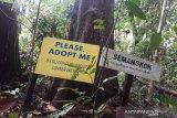 Sebatang pohon berukuran besar jenis atau bernama Semangkok (Scaphium Macropodum) di Kawasan Hutan Bukit Bengkirai, Kecamatan Samboja, Kabupaten Kutai Kartanegara menanti