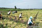Kulon Progo segera lepas benih unggul bawang merah Siem ke pasar
