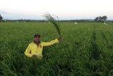 BUMDes bantu petani tingkatan produksi padi