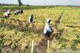 Dinas Pertanian Kulon Progo merekomendasikan gunakan biji bawang merah