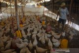Peternak mengumpulkan ayam pejantan yang mati di Desa Banjardowo, Jombang, Jawa Timur, Kamis (31/10/2019). Musim kemarau panjang yang terjadi di Kabupaten Jombang mengakibatkan ratusan ekor ayam milik para peternak mati mendadak karena kepanasan sejak beberapa bulan terakhir, dalam sehari rata-rata 6 ekor ayam mati. Kondisi ini membuat peternak diperkirakan mengalami kerugian mencapai puluhan juta rupiah. Antara Jatim/Syaiful Arif/zk.