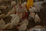 Ayam pejantan di kandang Desa Banjardowo, Jombang, Jawa Timur, Kamis (31/10/2019). Musim kemarau panjang yang terjadi di Kabupaten Jombang mengakibatkan ratusan ekor ayam milik para peternak mati mendadak karena kepanasan sejak beberapa bulan terakhir, dalam sehari rata-rata 6 ekor ayam mati. Kondisi ini membuat peternak diperkirakan mengalami kerugian mencapai puluhan juta rupiah. Antara Jatim/Syaiful Arif/zk.