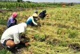 VIDEO: Petani bawang merah Kulon Progo panen raya