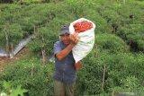Batam targetkan produksi cabai merah dua ton setiap hari