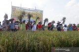 Panen padi perdana di lahan rawa gambut Palangka Raya