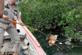 Ribuan bangkai babi ditemukan di sungai di Sumut