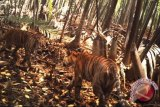 Seorang petani tewas diterkam harimau
