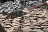Perajin menjemur ikan tongkol seusai direbus menggunakan panas matahari saat proses produksi menjadi komoditas ikan kayu di salah satu usaha industri rumahan, Desa Gano, Kecamatan Syiah Kuala, Banda Aceh, Aceh, Jumat (8/11/2019). Dampak dari perubahan cuaca yang  memasuki musim penghujan, mengakibatkan roduksi ikan kayu saat ini menurun dari empat ton menjadi tiga ton perbulan dengan harga penjualan Rp30.000 perkilogram. Antara Aceh/Ampelsa.