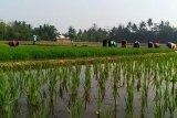 Peneliti: Harga beras akan diperburuk tingginya tarif impor